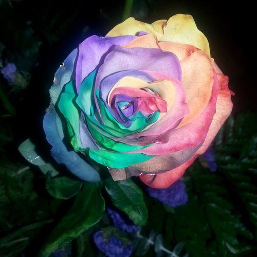 color blind RainbowRose Flowers And Roses Rainbow