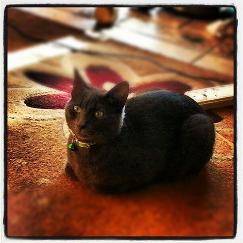 Kaiba Cat Chilling Russian_blue tagstagram cute cute