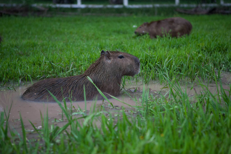 Capybara Capybaras Hervibore Animal Themes Animal Wildlife Animals In The Wild Close-up Day Field Grass Largest Rodent Mammal Nature No People One Animal Outdoors Plains Rodents Water