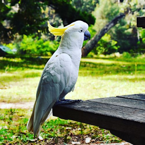 Cute as! EyeEm Selects Picoftheday EyeEm EyeEm Gallery Outdoors Photography Animal Vertebrate Animal Themes One Animal Animals In The Wild Bird Animal Wildlife Perching No People Parrot Focus On Foreground Day Nature Tree Full Length Outdoors Cockatoo Sunlight Side View Plant