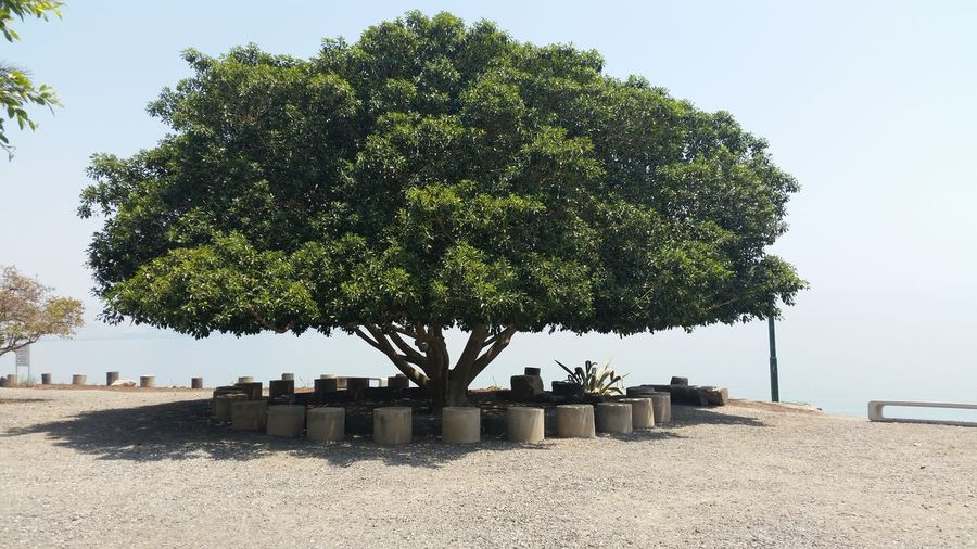 majestic tree to Capernaum Beauty In Nature Capernaum Day Green Color Growing Growth Landscape Nature No People Non-urban Scene Outdoors Remote Scenics Sky Sunlight Sunny Tranquil Scene Tranquility Tree Tree Trunk