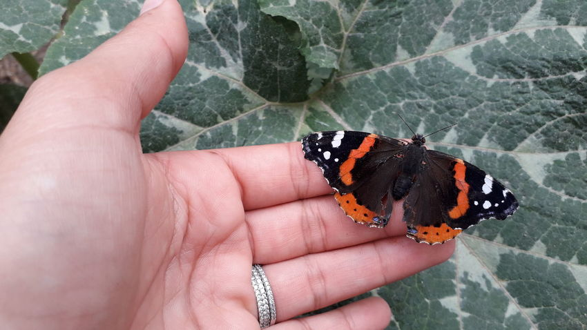 une jolie papillon 🦋💗💖 Tunisia❤ Mahdia/Tunisia Tunisia_with_love EyeEm Selects Wild Animal EyeEm Nature Lover EyeEm Best Shots - Nature EyeEmNewHere 😚 EyeEm Best Shots Papillon La Belle Dame Orange Color Black &Orange Human Hand Nail Polish Black Color Fingernail Close-up Butterfly - Insect Animal Antenna Animal Wing Animal Markings Butterfly