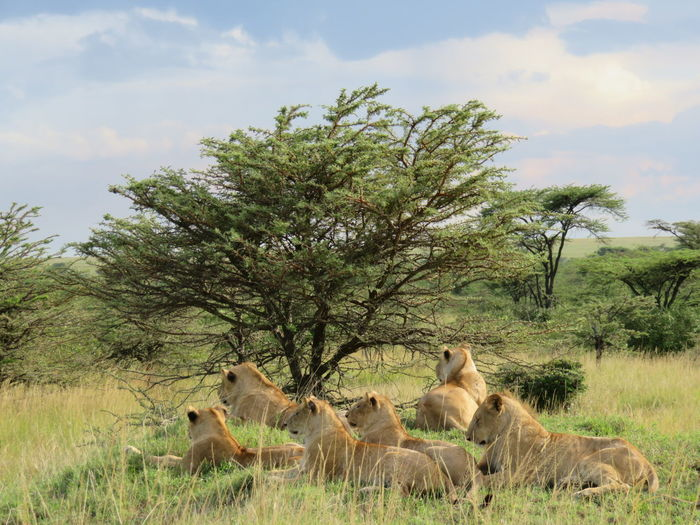 Lioness resting on field against sky
