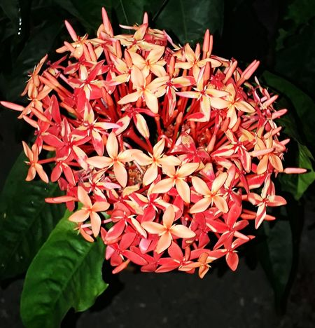 Little red flowers Red Flower Smal Flowers Bouquet Of Flowers Green Leaves Flower Bunch Bunch Of Flowers Beauty In Nature Nature Flower Petal Beauty In Nature Growth Nature Freshness Ixora Flower Head Fragility Plant Red Blooming Day Leaf Outdoors Close-up No People
