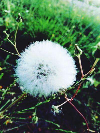 flor abuelito Flower Dandelion Diente De León Flor Del Abuelito Flower Head Flower Uncultivated Softness White Color Wildflower Dandelion Close-up Plant