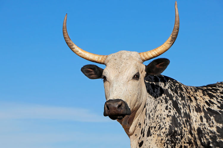 Portrait of cow standing against clear blue sky