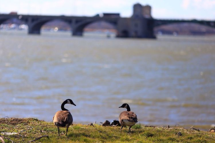 Canada Geese On Grassy Riverbank