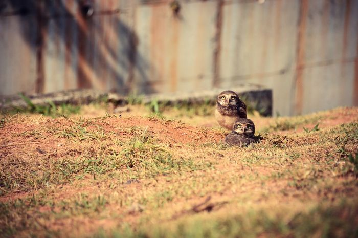 Selective Focus One Animal Animal Themes Auto Post Production Filter Tree Trunk Mammal Field Outdoors Day Nature Growth Surface Level Tranquility Messy Beauty In Nature Hiding No People Tranquil Scene Domestic Animals Zoology Owl Owlets Birds_collection Birds