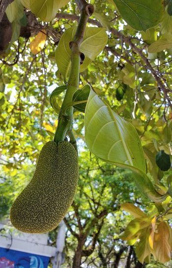 Jackfruit Jackfruit 💜 💜 💜 Seasonal Fruit 👀 Jackfruittree Jackfruit Leafs Jackfruitshake Low Angle View Green Color Growth Tree Nature Food And Drink Leaf Freshness No People Vertical Fruit Outdoors Food Beauty In Nature Healthy Eating Close-up Day Branch