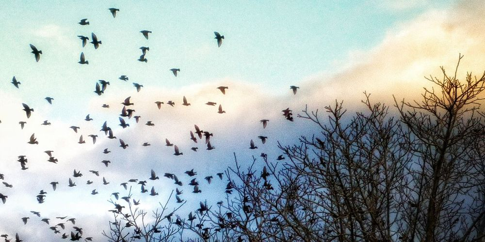 Bird Flying Flock Of Birds Migrating Silhouette Snow Tree Mid-air Winter Sky Colony