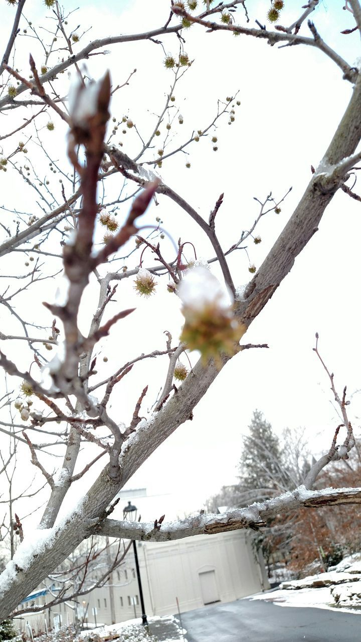 tree, nature, snow, branch, beauty in nature, day, outdoors, winter, growth, no people, cold temperature, fruit, freshness, low angle view, sky, close-up