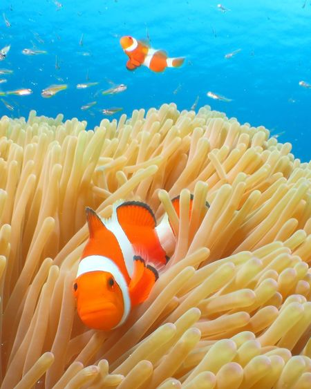 EyeEm Selects Underwater Fish Nimo Clown Fish Sea Sea Anemone Nature Okinawa Kerama Islands Kerama Blue Anemone Fish 沖縄 慶良間諸島 水中写真 カクレクマノミ ケラマブルー ニモ First Eyeem Photo