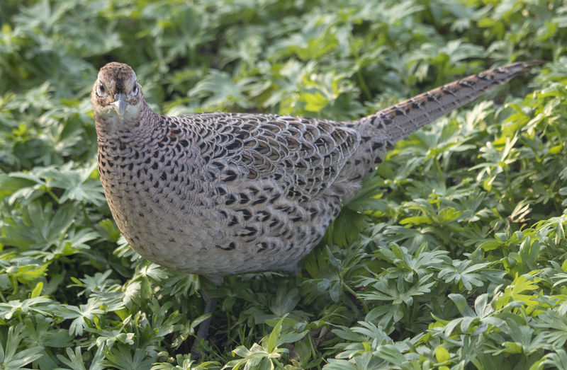 Female Ring-necked Pheasant Pheasant Ring-necked Pheasant Animal Themes Bird One Animal Close-up Green Color Animals In The Wild Animal Wildlife Animal