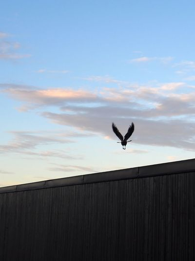 "A crow spreading its wings to fly to the sea. The wall belongs to ""Kallis"", a public sauna directly by the beach. V Copy Space Wall Crow Corbie Spread Wings Up And Away Away Overcome Obstacle Outdoors Morning Light Sunrise Fence Barrier Spread Wings Mid-air Architecture Cloud - Sky Bird Flying Animal Animal Themes Sky"