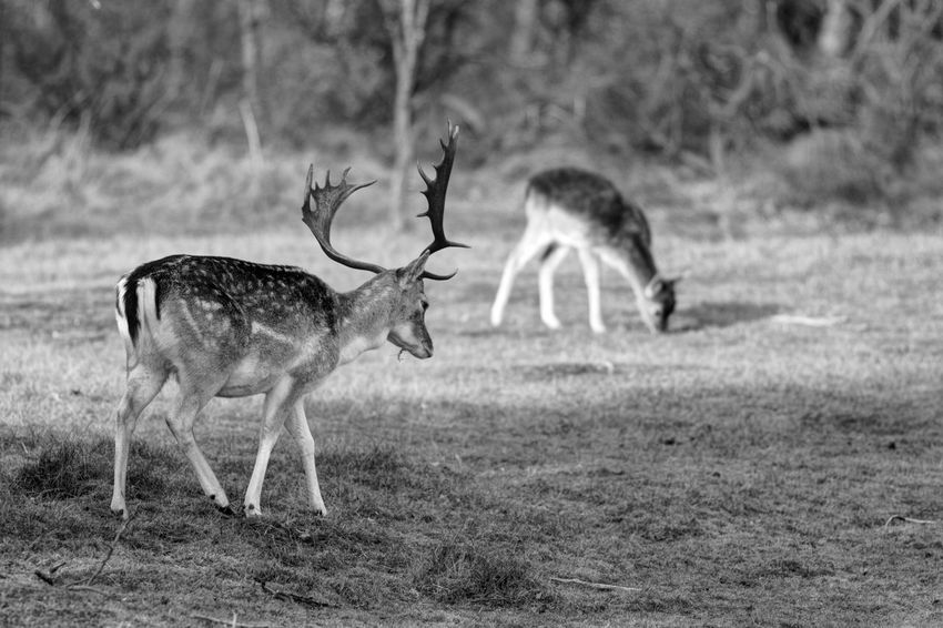 Black And White Blackandwhite Monochrome Stag Deer Animals In The Wild Animal Wildlife Animal Themes Field Mammal Nature No People