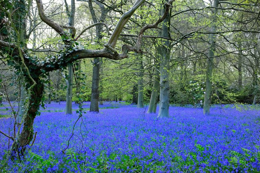 Evening bluebells. Shedfield England. Flower Nature Beauty In Nature Growth Tree Purple Tranquility Outdoors Scenics No People Tranquil Scene Springtime Plant Landscape Day Tree Trunk Blue Freshness Rural Scene Fragility