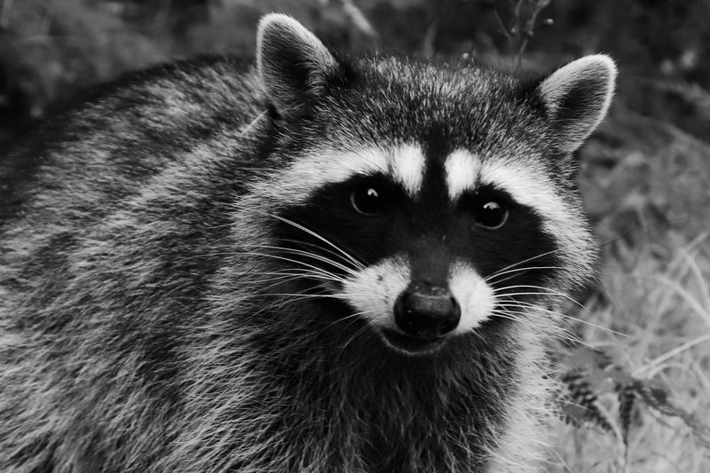 EyeEm Selects One Animal Mammal Animal Wildlife Animals In The Wild Portrait Close-up Looking At Camera Vertebrate Focus On Foreground Animal Body Part No People Raccoon Whisker Day Outdoors Front View Snout