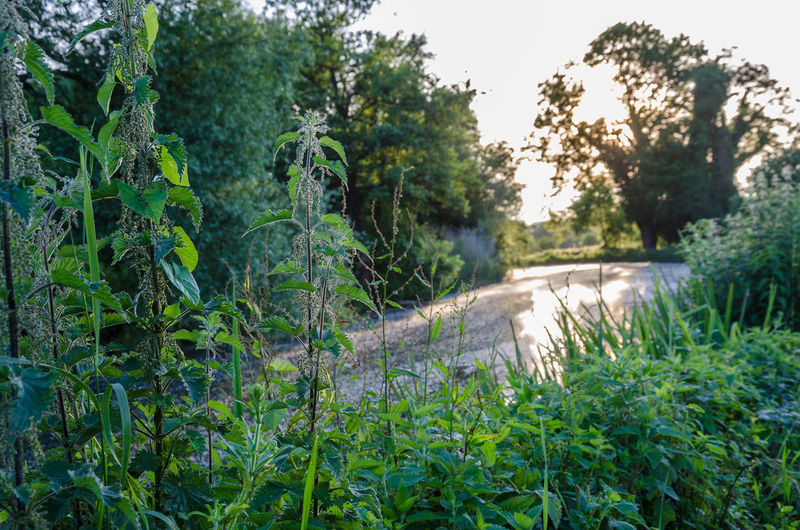 The River Kennet at Reading in Berkhisre. Nettles in the foreground. Beauty In Nature Berkshire Day Grass Green Color Greenery Growth Nature Nettle Nettles No People Out Outdoors Outside Plant Read River Kennet Stinging Nettles Tranquility Tree Waterway Weeds