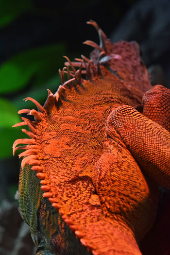Close-up of iguana at zoo