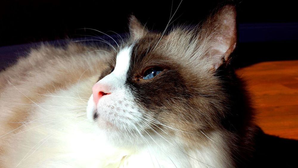 Cats Of EyeEm Blue Eyed Animal Head  Animal Themes Best Of EyeEm Blue Eyes Cat Art Cat Eyes CAT IN THE SUN Cat Model Close Up Color Contrast Contentment Domestic Cat Longhaired Cats One Animal Pets Purr-sonality Ragdoll Cat Seal Mitted Whiskers Cat Photography