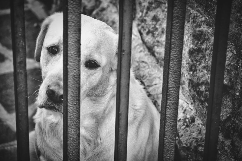 release me! Confined Space Confined  Restrained Imprisoned Jail Gaol Prisoner Prison Dogs Dog Love Dogs Of EyeEm Fence Enclosure Enclosed Blackandwhite Black And White Black & White Blackandwhite Photography Dog Looking At Camera One Animal Portrait Trapped People Pets Animal Themes Mammal