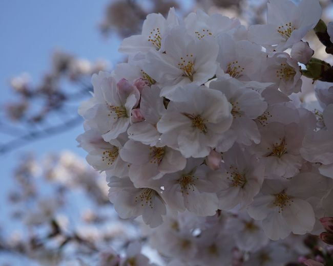 EyeEm Nature Lover Cherry Blossoms Flower Fragility Blossom Beauty In Nature Petal Nature Springtime Tree