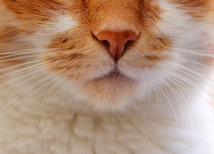 Red cat's mouth and nose. Close-up Domestic Cat Close-up One Animal Feline Animal Body Part Domestic Animals No People Full Frame Animal Themes Pets Mammal Nature Day Red Color Is Powerfull Red Color Redandwhite Cat Cat♡ Cats Of EyeEm Detail Details Of Nature Fur Copy Space