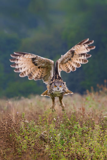 Low Angle View Of Owl Flying In Field