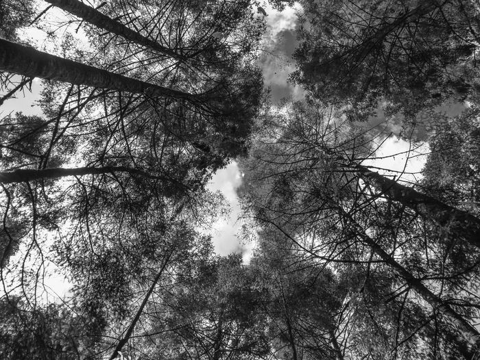 Trees and sky Beauty In Nature Blackandwhite Blackandwhite Photography Branch Day Fine Art Photography Forest Growth Leica Low Angle View Mariposas Monarcas Mexico Monochrome Monochrome Photography Nature No People Outdoors Panasonic  Scenics Sky Tranquility Travel Travel Photography Tree