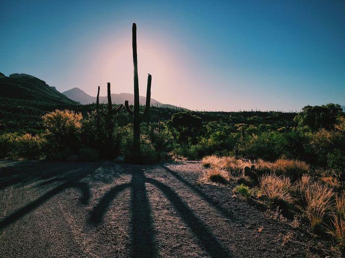 Cactus against clear sky