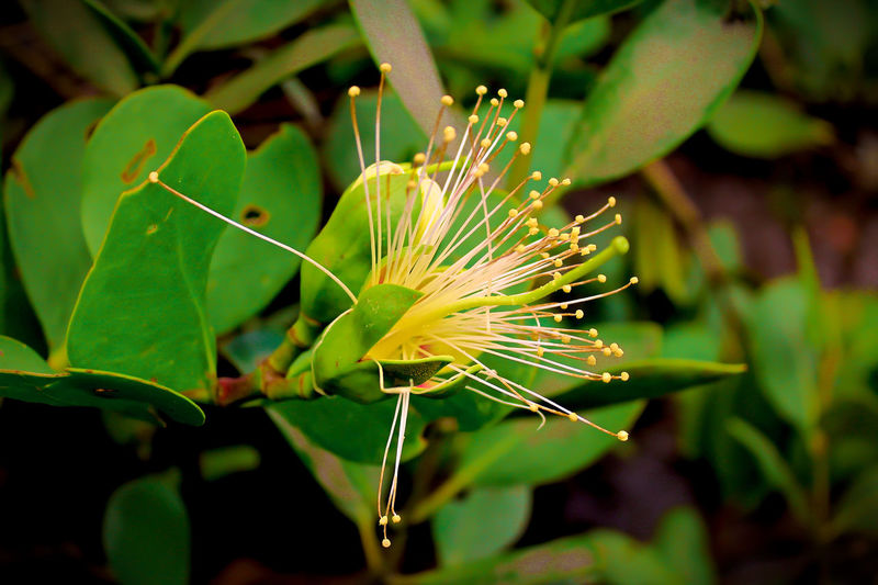 Beauty In Nature Close-up Day Flower Flower Head Flowerlovers Flowerpower Green Color Growth Leaf Mangrove Flower Mangrove Plant Nature No People Outdoors Plant Sonneratia Alba