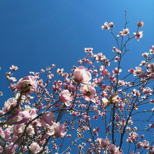 blu sky EyeEm Selects Flower Flower Head Tree Clear Sky Branch Blue Springtime Sky Close-up Magnolia Botany Petal