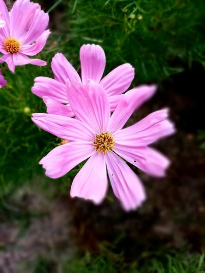 Beauty In Nature Close-up Cosmos Flower Day Flower Flower Head Flowering Plant Focus On Foreground Freshness No People Outdoors Pink Color Plant