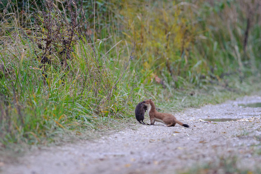 Stoat with killed rat in Neusiedler See National Park Austria Mustela Erminea National Park Neusiedler See Rat Animal Wildlife Animals In The Wild Carnivore Grass Mammal Nature Outdoors Prey Rodent Stoat Weasel Wildlife