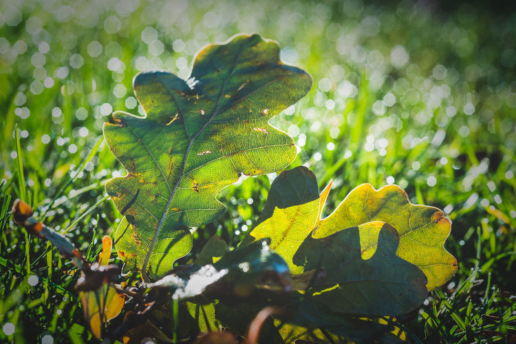 Oak leaf on grass with backlight Plant Growth Leaf Green Color Beauty In Nature Nature Selective Focus Close-up Day No People Sunlight Focus On Foreground Outdoors Land Tranquility Leaves Vulnerability  Oak Leaves Grass Bokeh EyeEmNewHere Nature Autumn Green Color Background