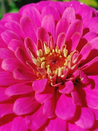 Flower Petal Beauty In Nature Fragility Nature Flower Head Pink Color Pollen Freshness Close-up Outdoors Blooming Growth No People Plant Zinnia  Day