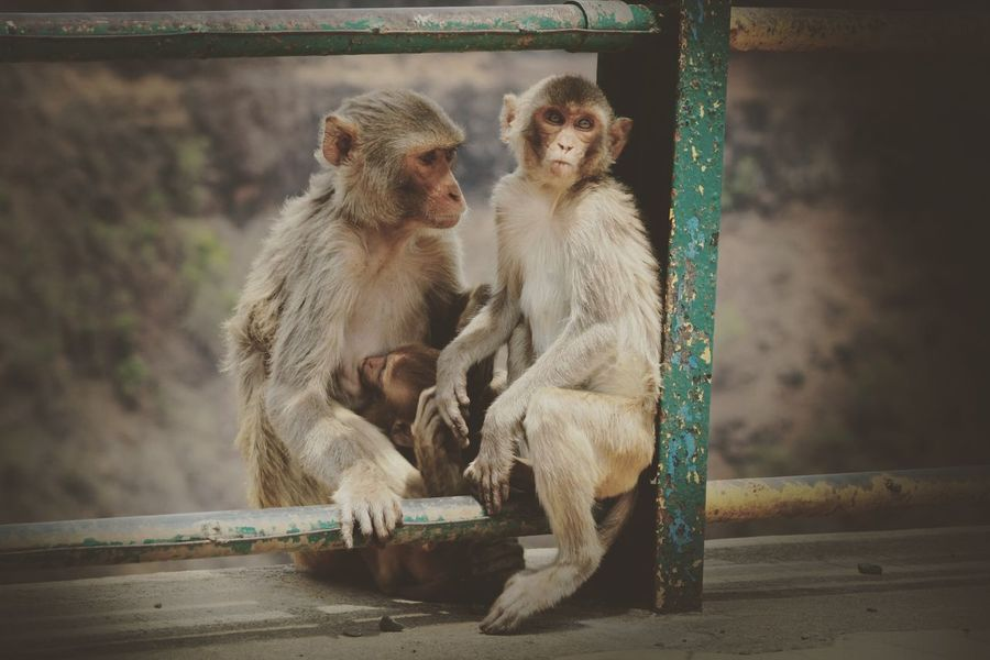 EyeEm Selects Primate Mammal Animal Wildlife Animals In The Wild Group Of Animals Vertebrate Two Animals Nature Young Animal Animals In Captivity Animal Family Outdoors Water No People Sitting Baboon Day Zoo