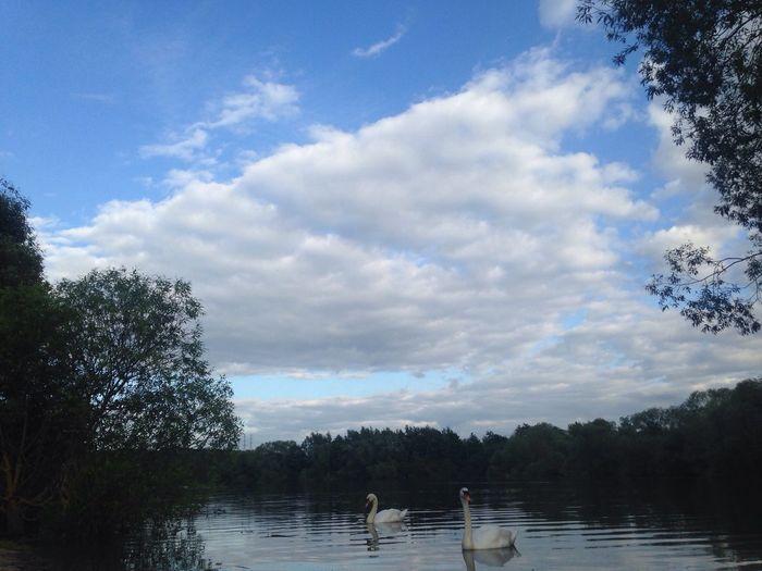 Swan Swans Dyke  Birds Birds On Water