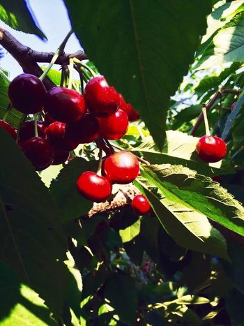 cherry Fruit Red Food And Drink Tree Growth Food Leaf Healthy Eating Freshness Day Focus On Foreground Nature Green Color Beauty In Nature Close-up