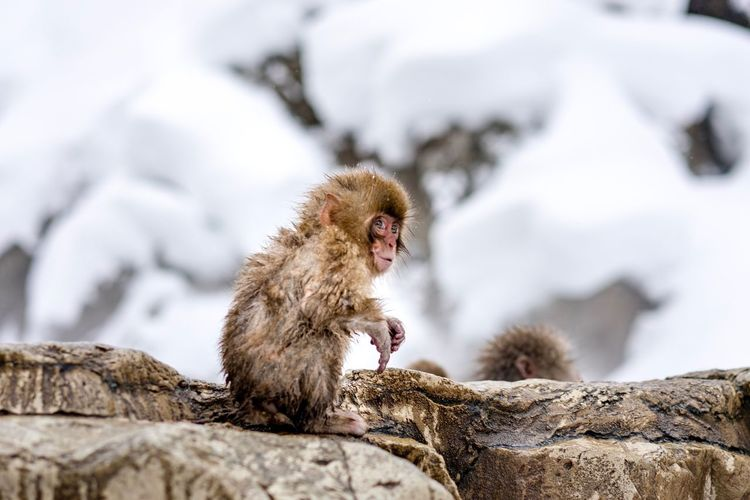 Close-up of baby japanese macaque