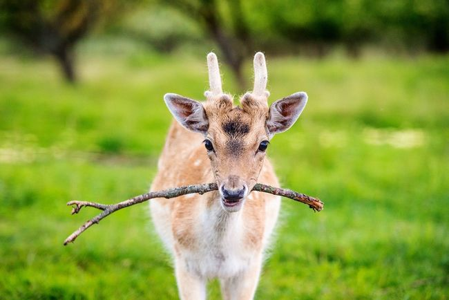 One Animal Animal Themes Animals In The Wild Looking At Camera Animal Wildlife Portrait Mammal Focus On Foreground Nature Day No People Young Animal Close-up Outdoors Grass Antler Deer Daniel