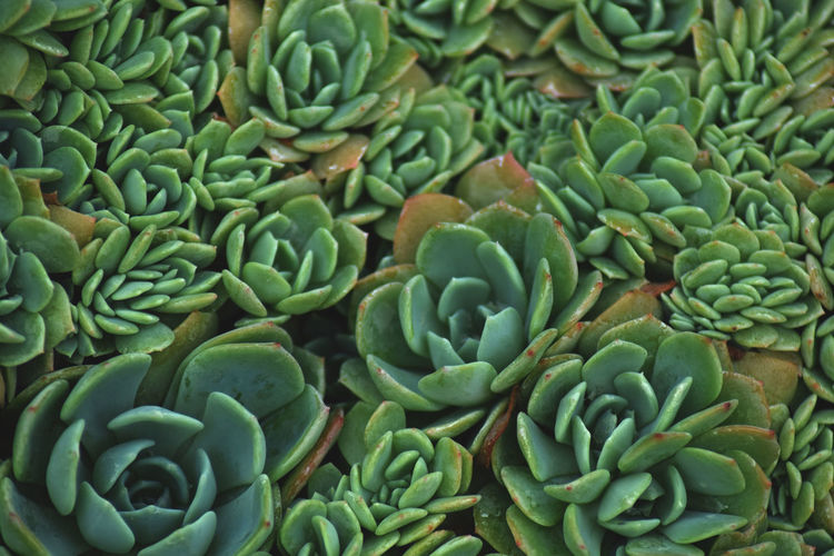 Abundance Backgrounds Beauty In Nature Close-up Day Food Food And Drink Freshness Full Frame Green Color Growth Healthy Eating High Angle View Natural Pattern Nature No People Pattern Plant Succulent Plant Wellbeing