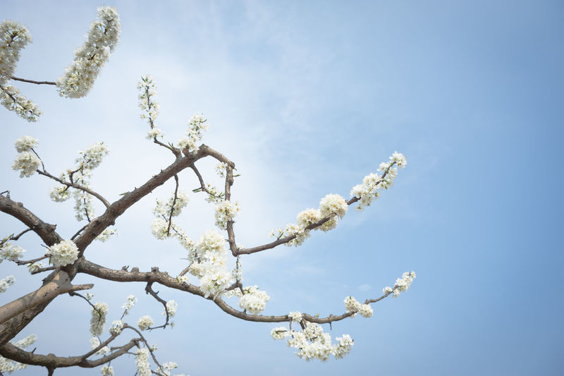 pear blossom in spring chengdu longquanyi Plant Beauty In Nature Low Angle View Sky Flower Flowering Plant Tree Growth Branch Nature Day Fragility No People Freshness Blossom Vulnerability  Outdoors Cloud - Sky Springtime Tranquility Cherry Blossom Cherry Tree Spring Pear Blossoms Pear Tree  Peace White Flower Chengdu Longquanyi Blue Wave