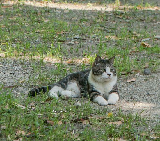 はちわれデー Cat♡ 僕らの居場所は言わにゃいで 野良猫 自由猫 ねこ部 ねこ Cats Of EyeEm Cats Lovers  のらねこ部 キジシロ 野良猫ウォッチング ハチワレ 地域猫 写真で伝えたい私の世界 ファインダー越しの私の世界 ファインダーは私のキャンパス