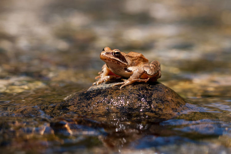 Frog On Rock In Pond