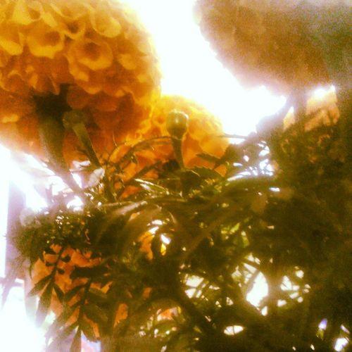 Cempasúchil Flowers 2DeNoviembre Diademuertos :)