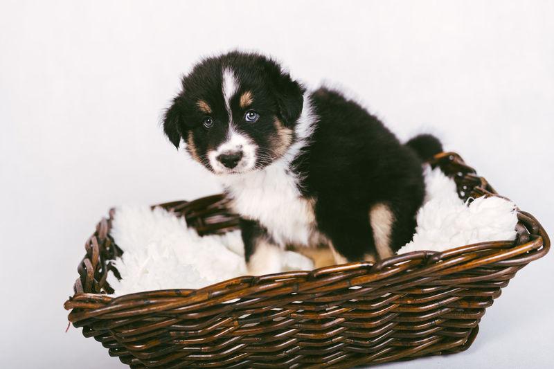 Portrait of puppy sitting on basket against white background