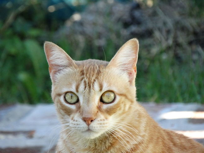 Domestic Cat Pets One Animal Portrait Domestic Animals Looking At Camera Mammal Focus On Foreground Feline Animal Themes No People Close-up Outdoors Day Nature