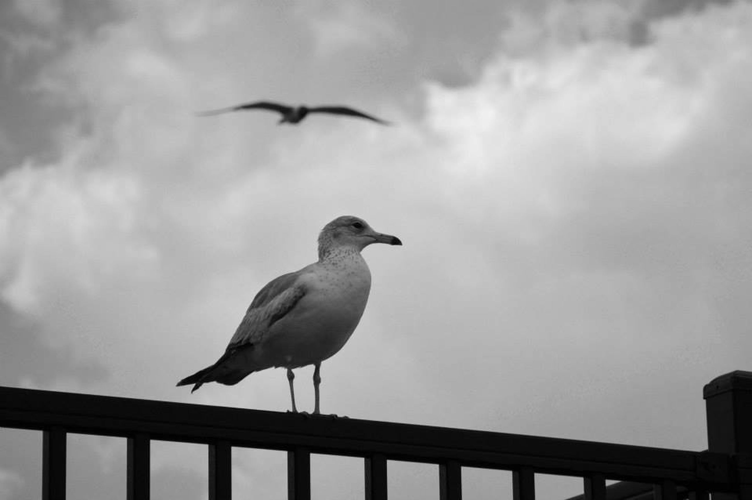 bird, animal themes, animals in the wild, wildlife, seagull, perching, sky, one animal, railing, spread wings, flying, full length, low angle view, cloud - sky, nature, outdoors, day, vertebrate, focus on foreground, zoology