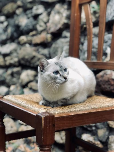 Deseando Animal Rústico  Rustic Sentado Gato Silla De Madera Silla One Animal Mammal Pets Domestic Focus On Foreground Feline Cat Wood - Material Domestic Animals No People Domestic Cat First Eyeem Photo